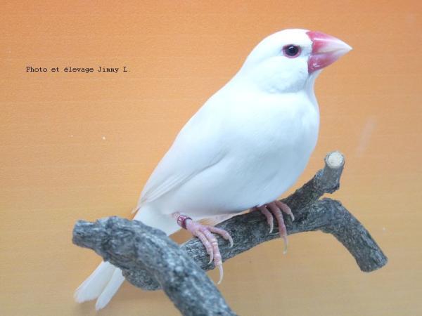 Padda blanc